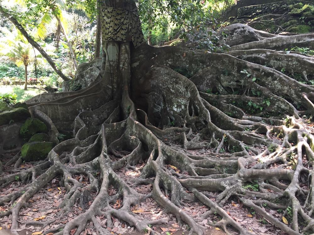 Bali tree roots